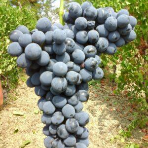 Grappolo di uva Croatina
