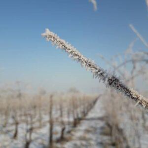 Cristalli di ghiaccio sui tralci