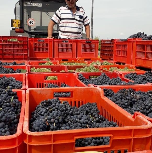 Raccolta in cassetta delle uve per la base spumante.